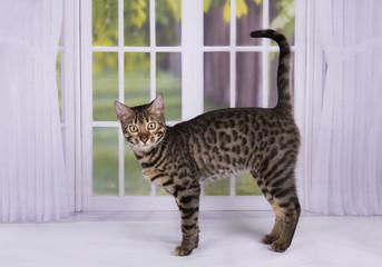 kitten Savannah against the window into the garden