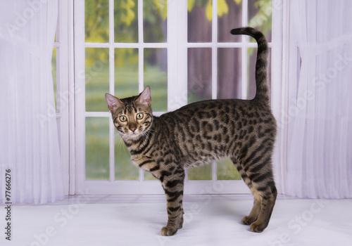 Papiers peints Leopard kitten Savannah against the window into the garden