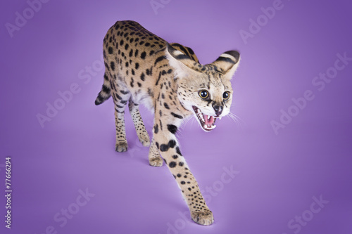Fotobehang Luipaard serval kitten playing in the studio on a colored background isol