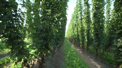 View from inside a hop field