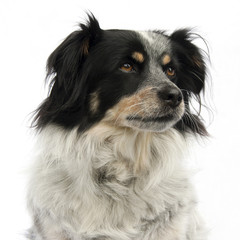 Portrait of black and white colored dog looking sideways