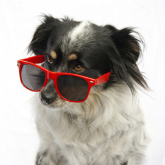 Portrait of dog wearing red sunglasses