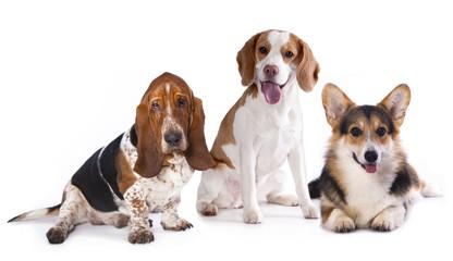 group of dogs,  welsh corgi, beagle, basset