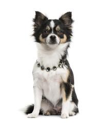 Chihuahua wearing a diamond collar
