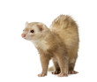 canvas print picture - Ferret (2 years old)