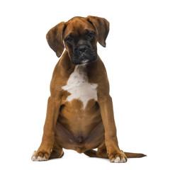 Boxer puppy (3 months old)