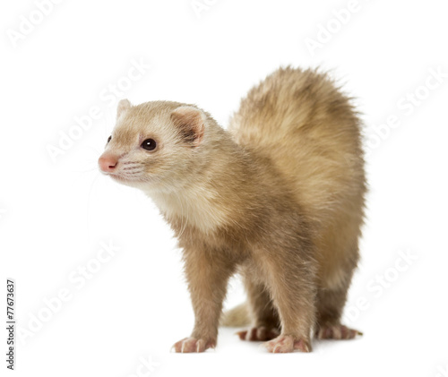 canvas print picture Ferret (2 years old)
