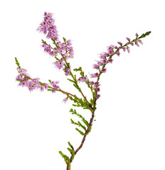 isolated pink color heather branch