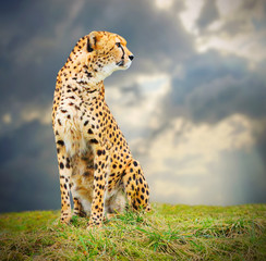 The Cheetah (Acinonyx jubatus) in african savanna.