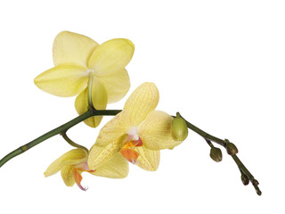fine lemon yellow three orchids on white