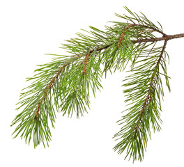 green pine branch on white
