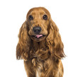 canvas print picture - Close-up of an English Cocker Spaniel (1 year old)