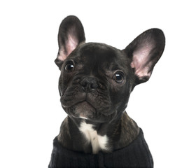 Close-up of a French Bulldog