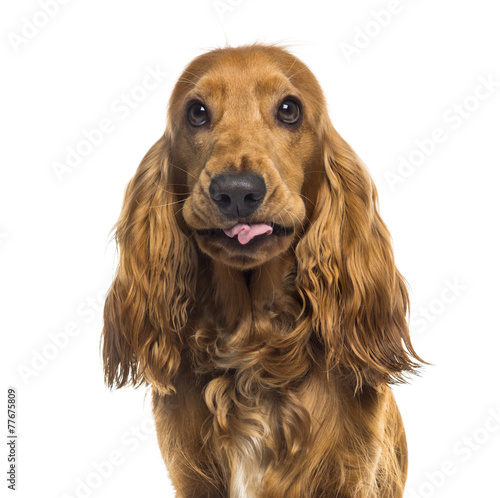 canvas print picture Close-up of an English Cocker Spaniel (1 year old)