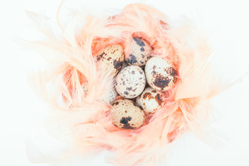 Quail eggs in feathers nest