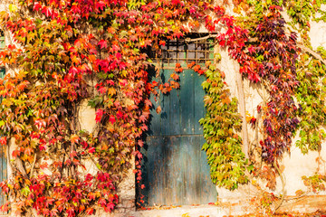 Boston ivy and old door
