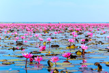 Sea of pink lotus in Udon Thani, Thailand (unseen in Thailand)