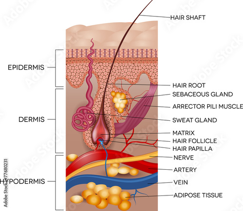 Labeled Skin and hair anatomy. Detailed medical illustration. - 77680231