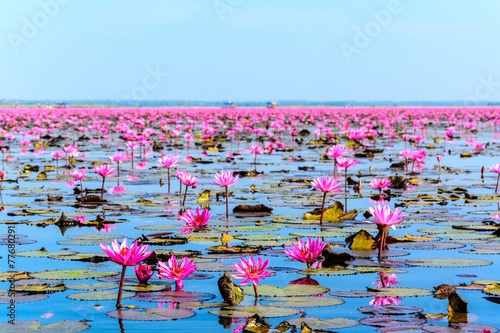 Aluminium Lotusbloem Sea of pink lotus in Udon Thani, Thailand (unseen in Thailand)