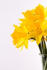 Bouquet of yellow daffodils. Isolated on white background