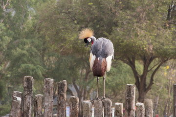 Beautiful Crested Crane Bird on wooden fence