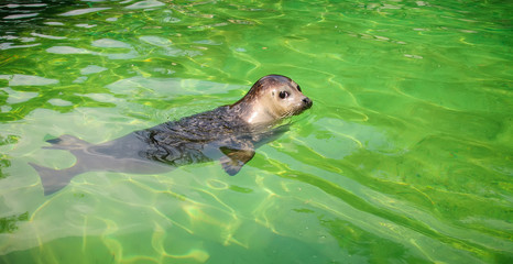 Seal swimming in a watter