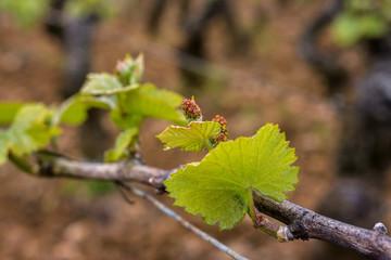 inflorescences de la vigne