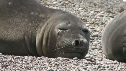 Sleeping fur seal close-up. Punta Ninfas place, Argentina