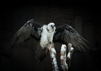 griffon vulture against a dark background/Vulture