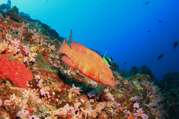 Red coral grouper (hind) fish on coral reef underwater