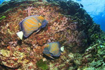 Pair of Ringed Angelfish