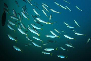 School Mackerel Fish in Ocean