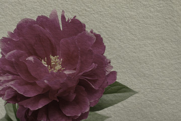 textured old paper background with red peony flower