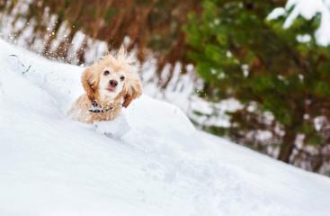 English cocker spaniel dog portrait in winter