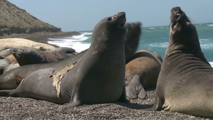 Two male fur seals fighting. Punta Ninfas place, Argentina