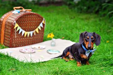 Miniature Dachshund on picnic