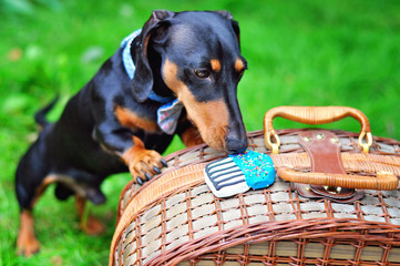 Miniature Dachshund on a picnic