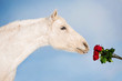 White horse sniffing a bouquet of red roses - 77697482