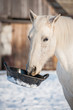 White horse holding a rubber feeding bucket in its mouth - 77697607