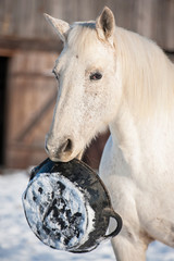 White horse holding a rubber feeding bucket in its mouth