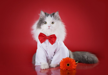 cat in a shirt and tie with a flower on a red background isolate