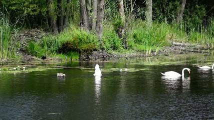 Schwan - Köpchen ins Wasser ...