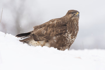Buzzard ( Buteo buteo ) perched in snow, spain