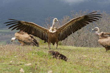Griffon vulture ( Gyps fulvus ) perched on the floor with open w