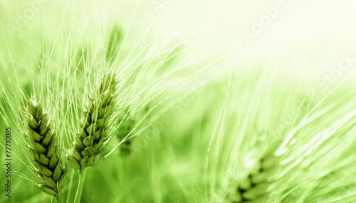 barley field - 77710085