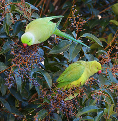 parrots eating fruit in the forest