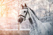 Portrait of a gray sports horse in the winter - 77713077