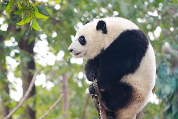 Giant Panda Cub sitting on branch - Chengdu, China