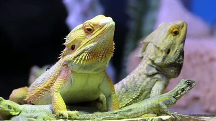 Iguana video di iguane