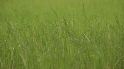 vento nell'erba natura
